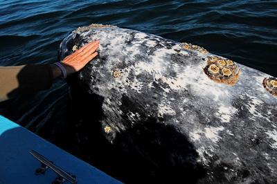 Eschrichtius robustus is a baleen whale