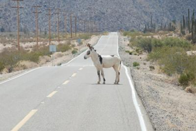 Donkey On The Road To Bahia De Los Angeles.